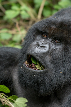 Hirwa Group, Volcanoes National Park, Rwanda
