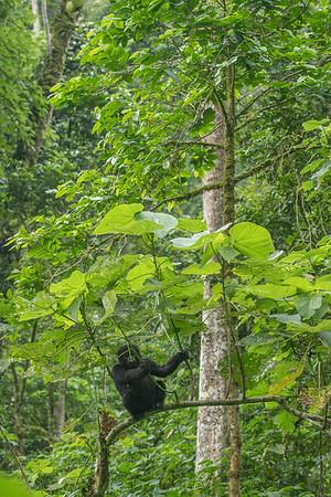 Bikyingi Group, Bwindi Impenetrable Forest, Uganda