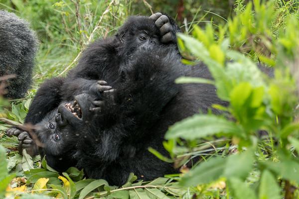 Nyakagezi Group, Mgahinga National Park, Uganda