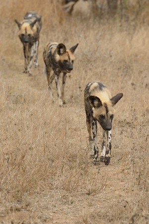 Wild dogs are endangered and their territories span hundreds of miles, so it was a real treat to see them.  They would individually lie under trees resting, and then suddenly, in silence, get up and start walking in single file searching for prey.<br /> <br /> Lion Sands reserve.