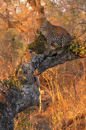 It's not easy to see a leopard and her cub together, so we couldn't believe our luck when these two climbed a tree just as the sun was setting.<br /> <br /> Rollercoaster and her cub, Kirkman's Kamp reserve.