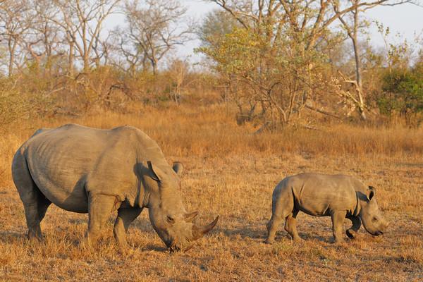 White rhino and her calf, Kirkman's Kamp reserve.