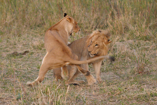 "Two lions from the same pride ""greeting"" each other.<br /> <br /> Charleston pride, Kirkman's Kamp reserve."