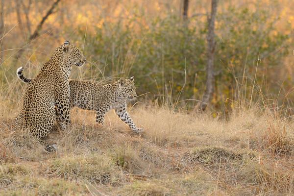 Schotia and her cub, Kirkman's Kamp reserve.