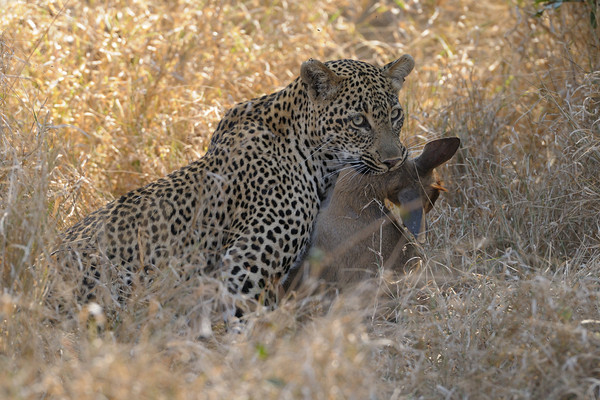 It's a little shocking to see a kill up close - this one by suffocation. The leopard then left it for her cub to eat [see the next photo].<br /> <br /> Schotia female, Kirkman's Kamp reserve.