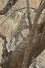 Schotia cub, Kirkman's Kamp reserve.