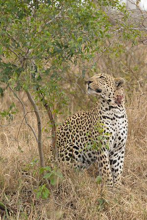 The resident male leopard had reportedly suffered the injury to its neck when it tried to expand its territory in a fight with another male.<br /> <br /> Lion Sands reserve.