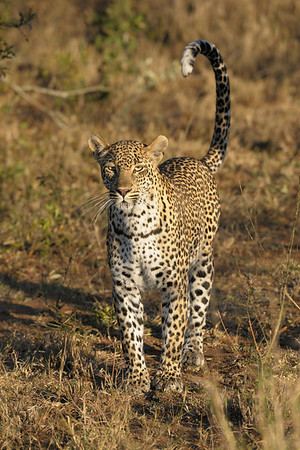 When this leopard wanted her cub to follow, she would raise her tail so that its white tip was clearly visible.<br /> <br /> Schotia female, Kirkman's Kamp reserve.