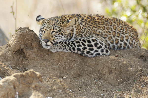 Not sure how thrilled the termites were that a leopard cub was trying to sleep on their mound.<br /> <br /> Rollercoaster cub, Kirkman's Kamp reserve.