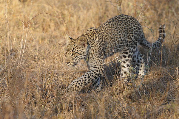 The cub would often practise stalking...on its mother.<br /> <br /> Schotia cub, Kirkman's Kamp reserve.