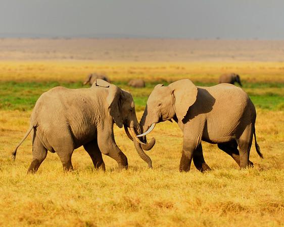 Elephants wrestling and trunks