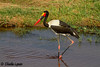 Ruaha National Park, Tanzania - Saddle Billed Stork