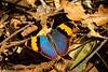 Udzungwa National Park, Tanzania - Forester Butterfly