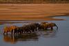 South Luangwa, Zambia - Elephants crossing Luangwa River