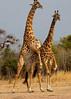 South Luangwa, Zambia - Mating giraffes