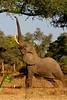 Mana Pools, Zimbabwe - Elephant reaching for pods
