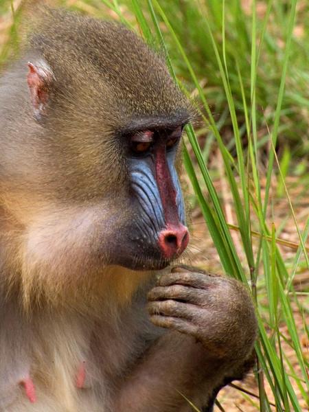 Mandrill, Lekedi Park, Gabon