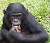 Bonobo, Lola Ya Bonobo Sanctuary, DRC (Congo-Kinshasa)