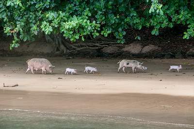 Pigs and piglets along the shore in Principe, Sao Tome and Principe
