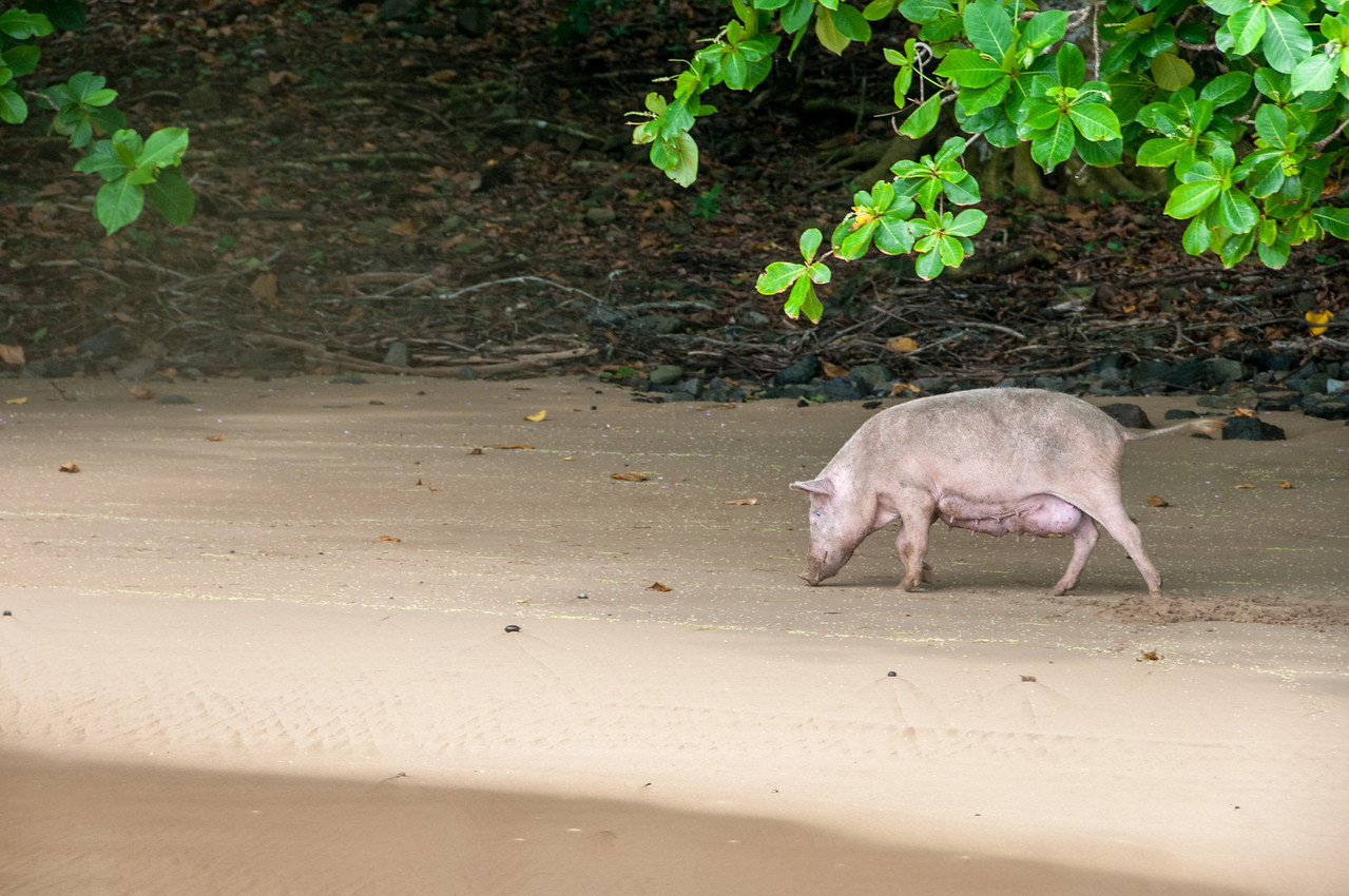 Pig on the shore in Principe, Sao Tome and Principe