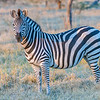 Plains Zebra (Chapman's subspecies)