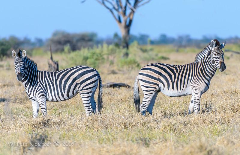Plains zebras (Chapman's subspecies)