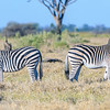 Plains zebras (Chapman's subspecies)