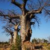 Elephant damage to baobab
