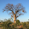 Baobab with Weaverbird nests