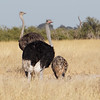 Ostrich and chick