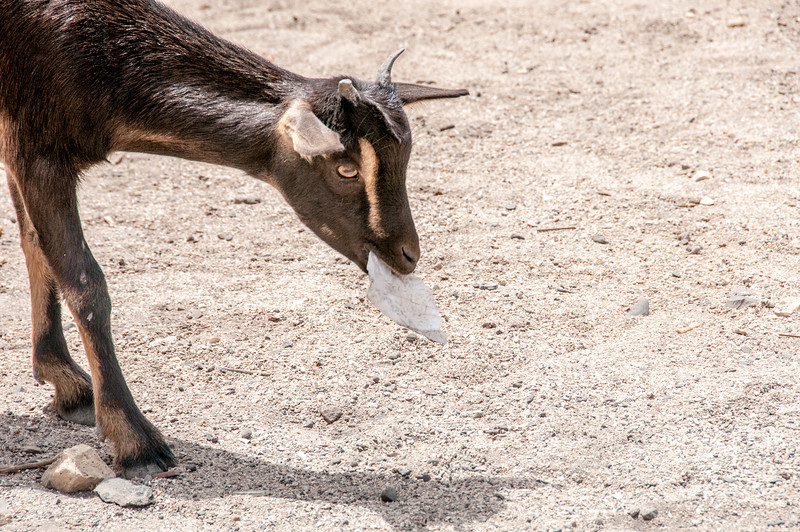 Goat in Dakar, Senegal