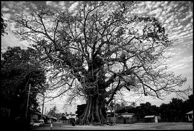 Kapok tree, Diembering