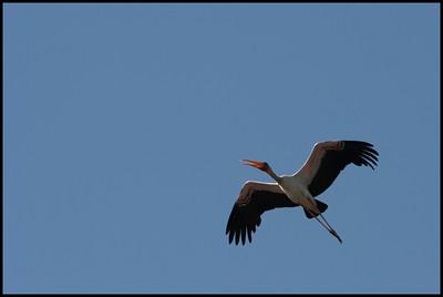 Yellow-billed stork, Ziguinchor