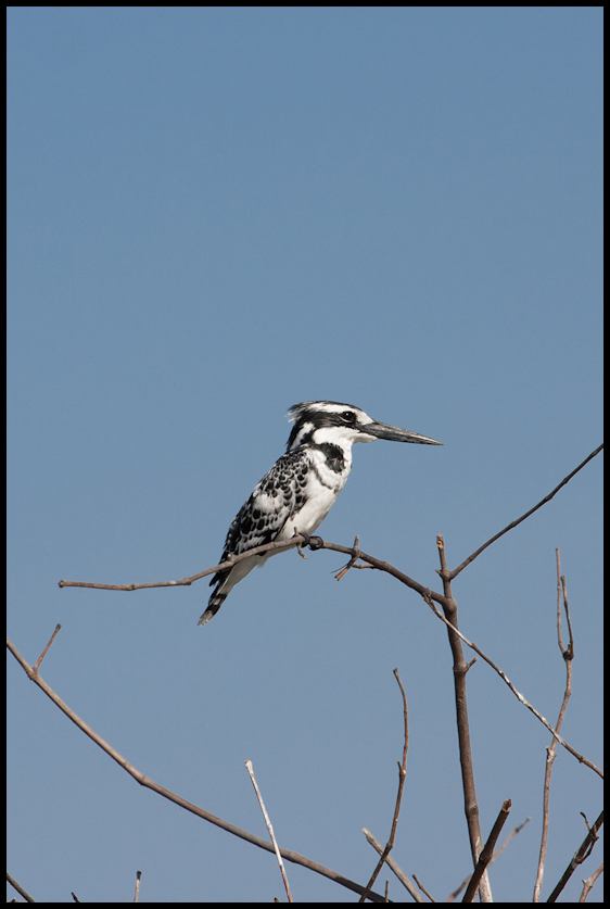 Pied kingfisher, on route to Afiniam