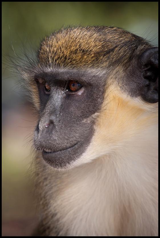 Green vervet monkey, Campement Villageois d'Elinkine