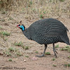 helmeted guinea fowl - Serengeti-3