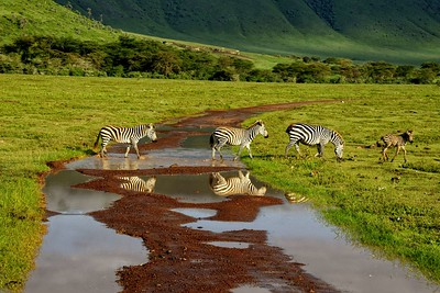 Zebras cross the road in the morning light in the Ngorongoro crater