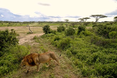 A lion crosses our jeep at Ndutu