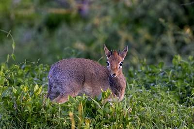 A Steenbok  at dawn in Ndutu