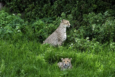 Cheetah mother and cub near the Nabi gate entrance of Serengeti close to the Gol Kopjes