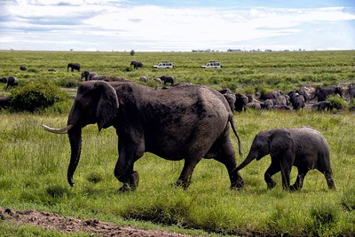 Tourists in jeeps  watch an elephant herd in the central Serengeti