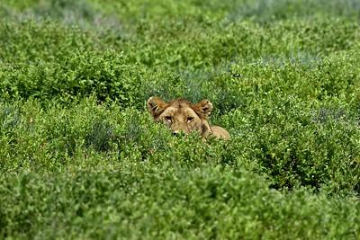 A lioness watches a zebra herd half hidden by the Serengeti grass