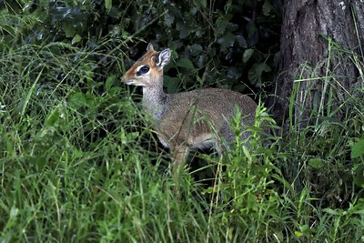 A  Ugogo Dikdik watches carefully sheltered by the leaves in Central Serengeti