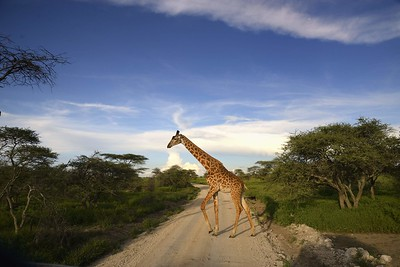 A giraffe crosses the road behind our jeep in the warm evening light in the Ndutu woodlands