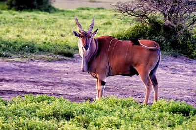 The Topi - a large antelope