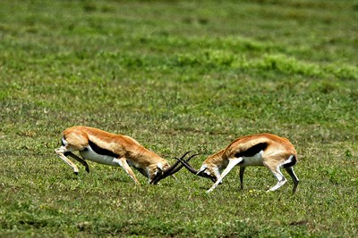 Sparring Thomson gazelles  near the Nabi gate close to the Gol Kopjes