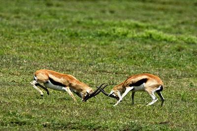 Sparring Thomson gazelles  near the Nabi gate close to the Gol Kopjes