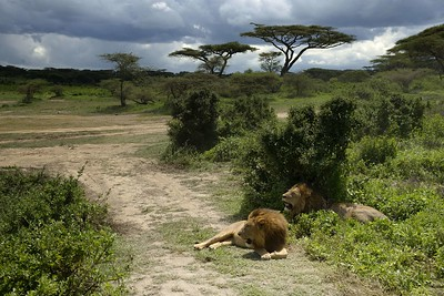 Two brothers rest in the shade  in the Ndutu woodlands