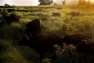 Buffalo in the early dawn light on the rim of the Ngorongoro crater