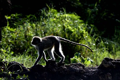 A yellow Baboon in the Ngorongoro crater